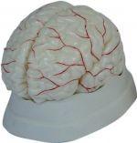 Mózg człowieka z naczyniami, model 8 częściowy