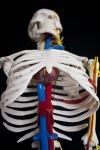 Szkielet człowieka - model 85 cm wysokości z arteriami i sercem