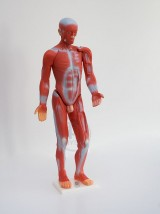 Układ mięśniowy człowieka